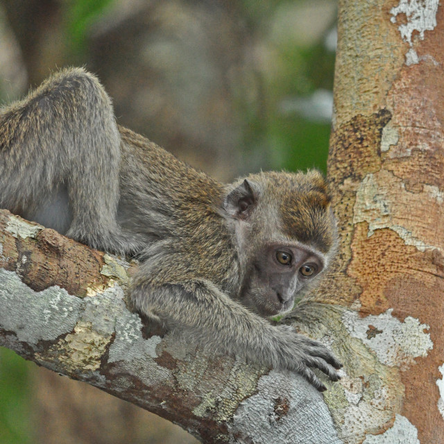 """""""long-tailed macaque"""" stock image"""