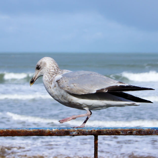 """'Gull'"" stock image"
