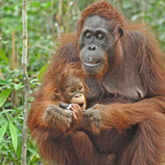 """""""Orangutan mother"""" stock image"""