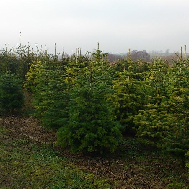 """""""christmas trees"""" stock image"""