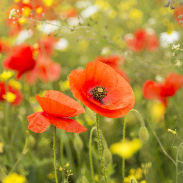"""Poppies in the meadow"" stock image"