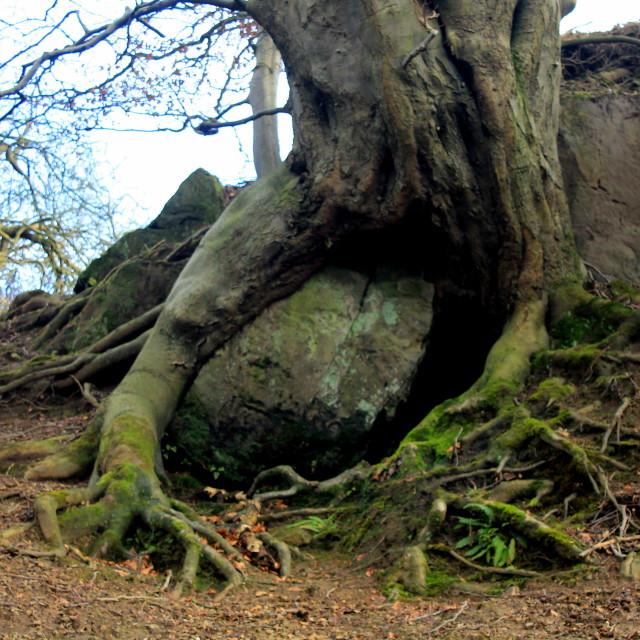 """Tree embraces rock"" stock image"