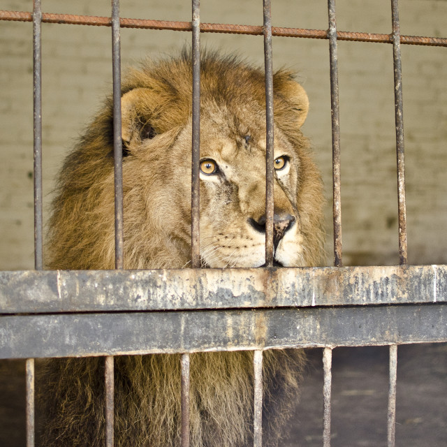 """Lion in Captivity"" stock image"