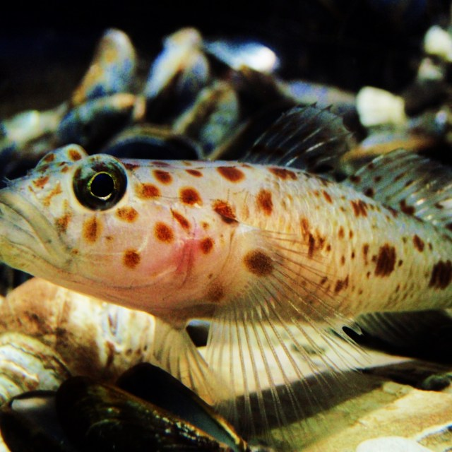 """""""Goby"""" stock image"""
