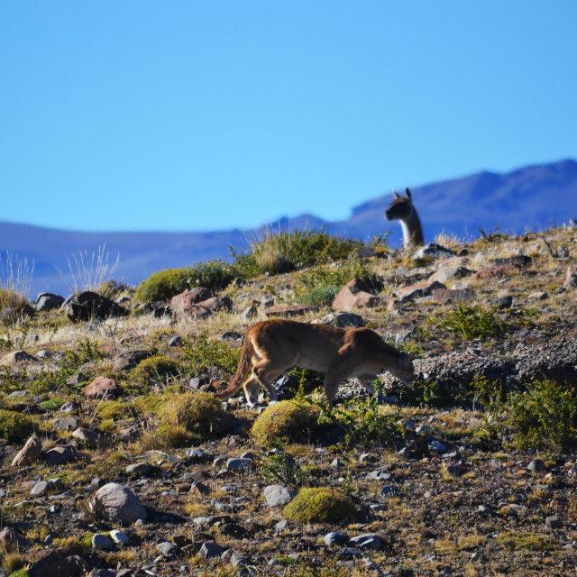 """Puma & Guanaco"" stock image"