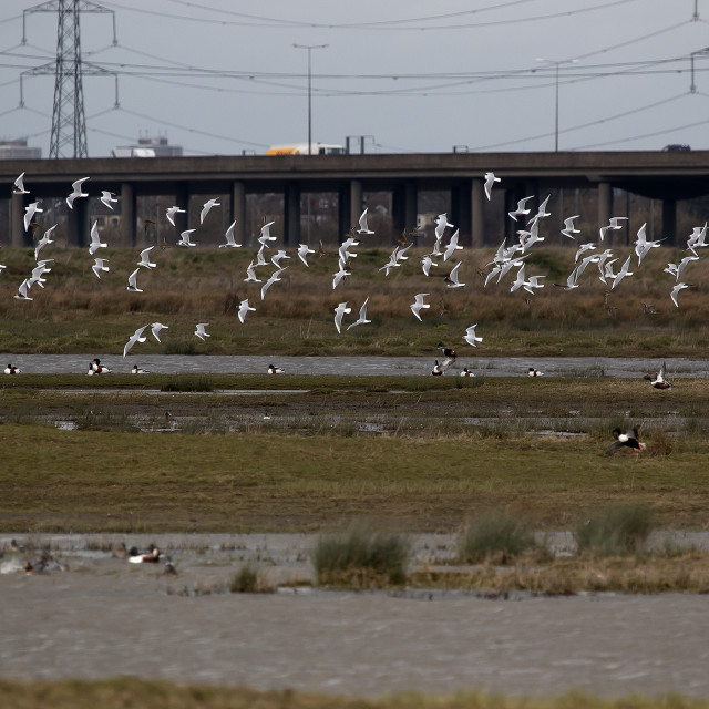 """Flock of Gulls"" stock image"