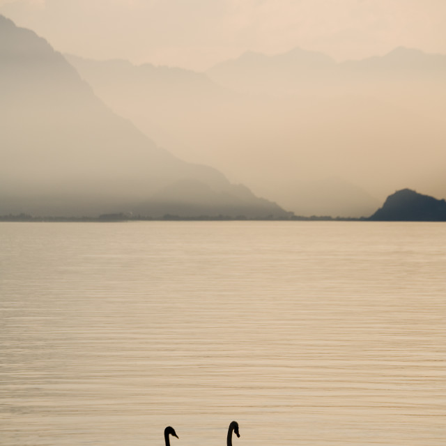 """Two Swans Swimming"" stock image"