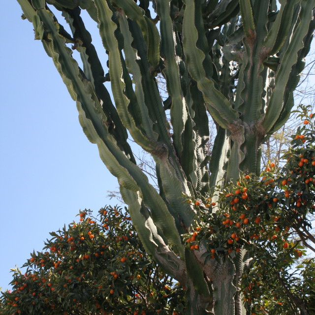 """""""Capri cactus"""" stock image"""