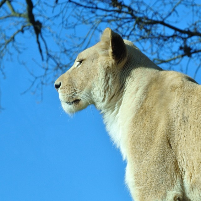 """Lioness"" stock image"