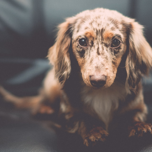 """""""Canine Cognition (What's She Thinking?)"""" stock image"""