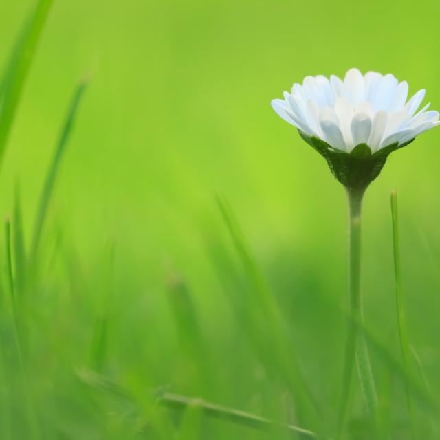 """""""Giant Daisy"""" stock image"""