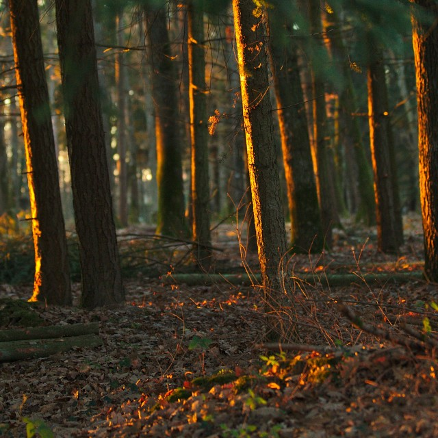 """Forest at sunset"" stock image"