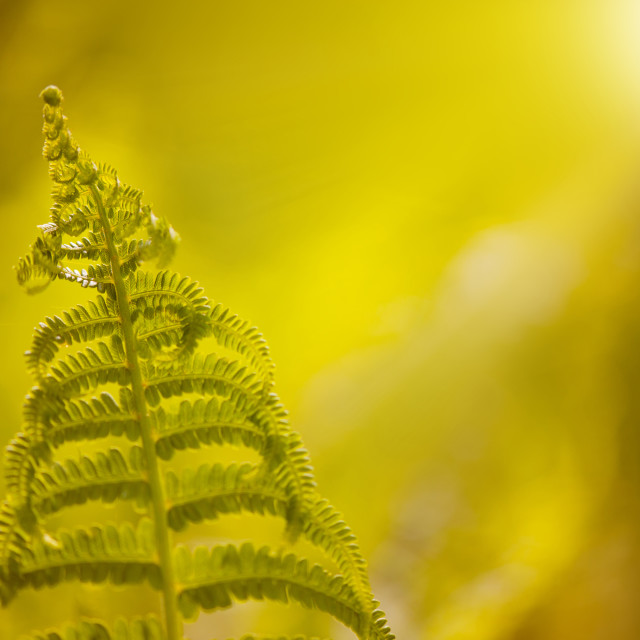 """fern leaf softlight macro"" stock image"
