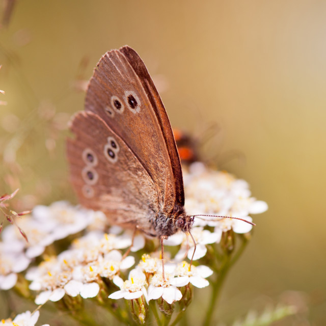 """""""Ringlet brown butterfly sitting"""" stock image"""