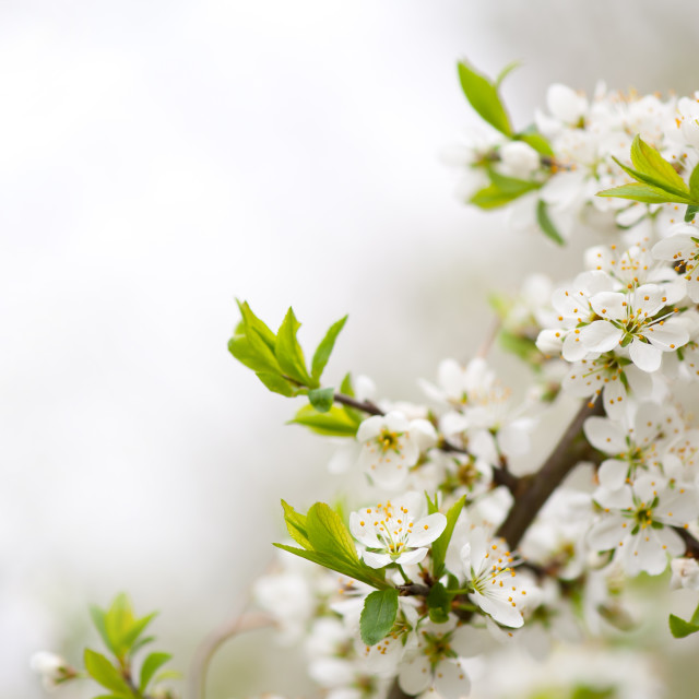 """Blooming Cerasus cherry tree twig"" stock image"