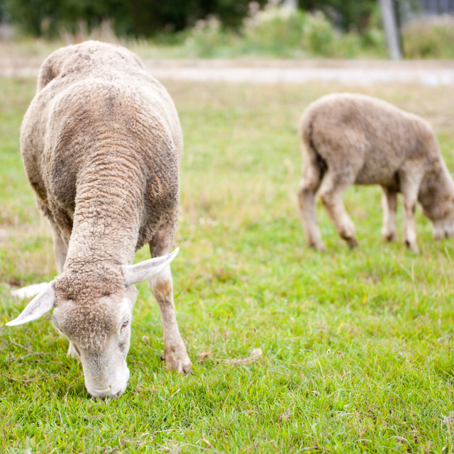 """""""Two sheeps eating grass"""" stock image"""