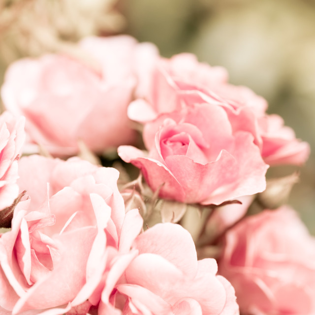"""""""Vintage roses bouquet sepia toned"""" stock image"""