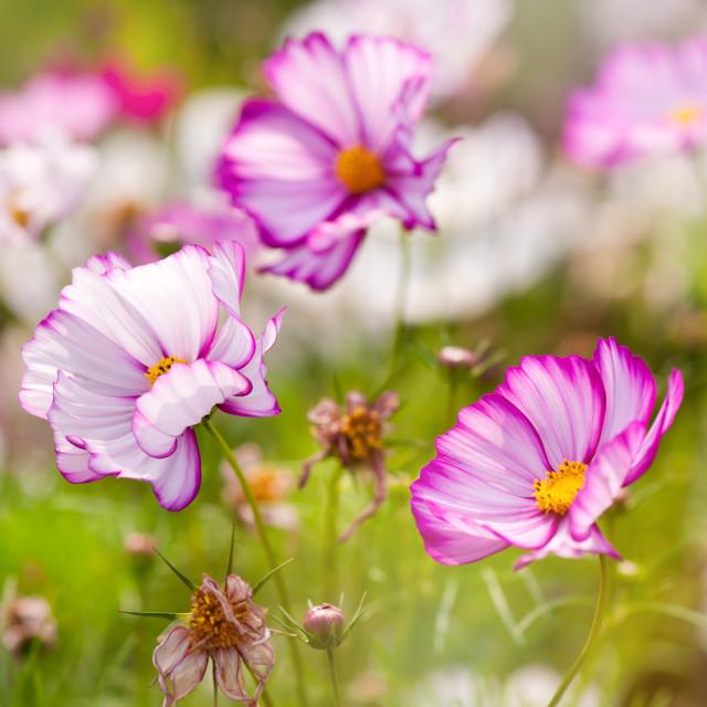 """""""Cosmos Bipinnatus flowers"""" stock image"""