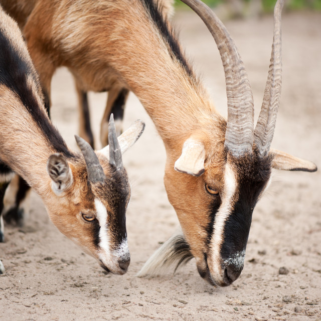 """""""Two brown domesticated goats eating"""" stock image"""