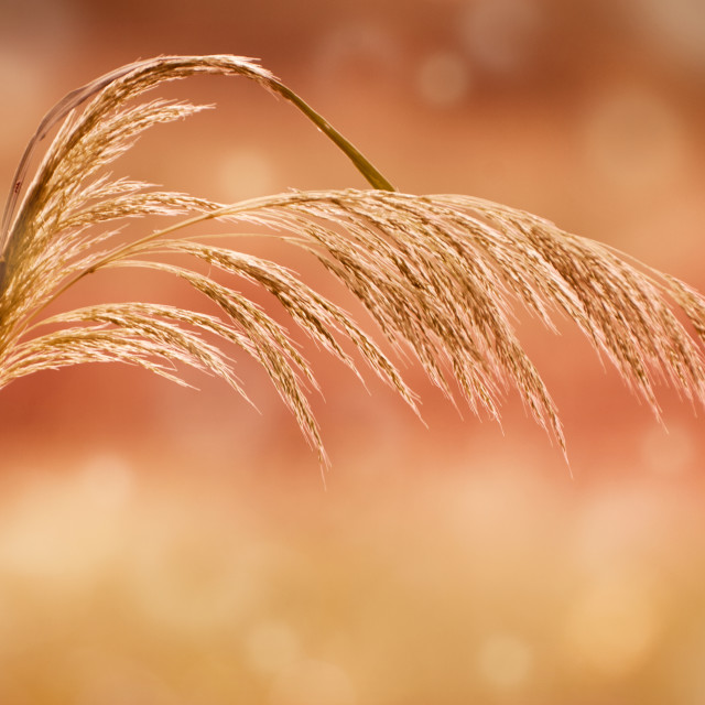 """grass inflorescence on blurred circles bokeh"" stock image"