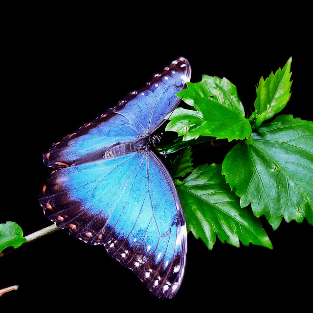 """Blue Morpho Butterfly."" stock image"