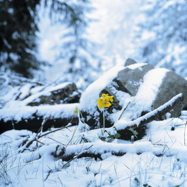 """A flower in the snow"" stock image"