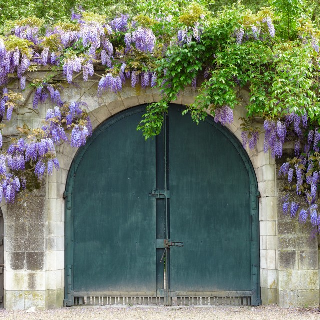 """Wisteria covered gate"" stock image"