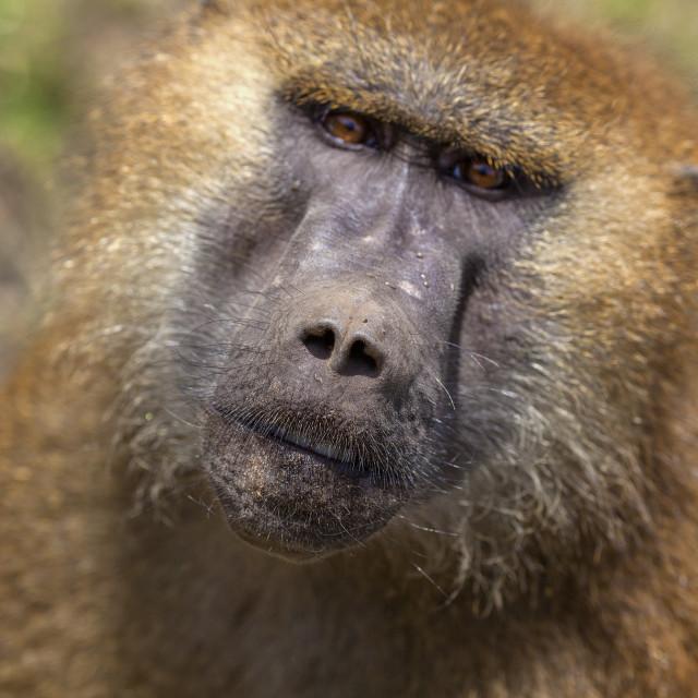 """""""Monkey see, Monkey do"""" stock image"""