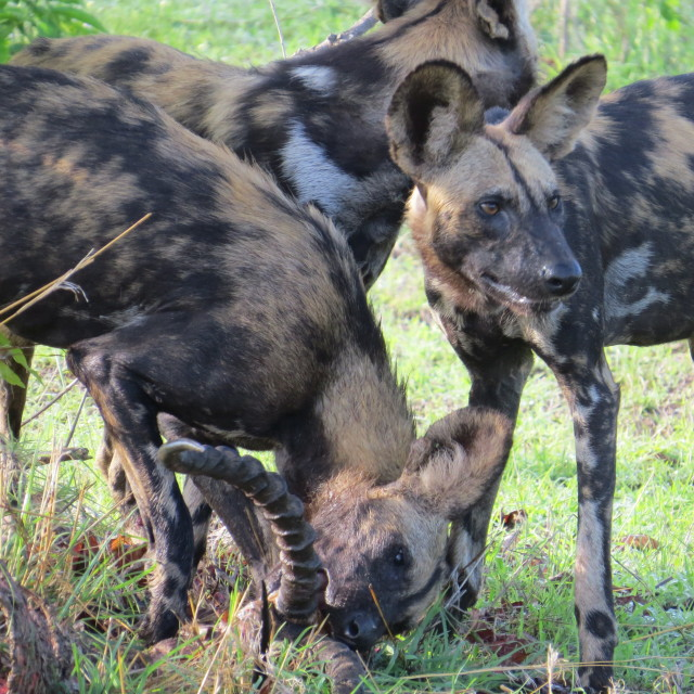 """Wild Dog Dinner"" stock image"