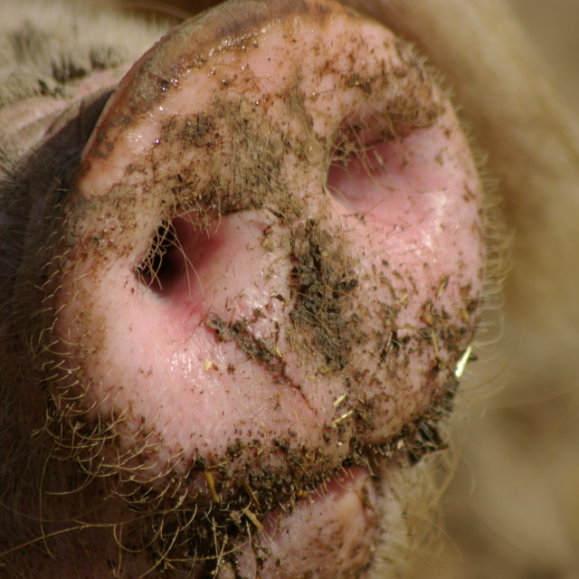 """Pig snout"" stock image"