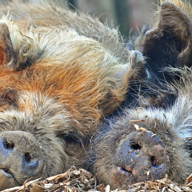 """Pair of pigs"" stock image"