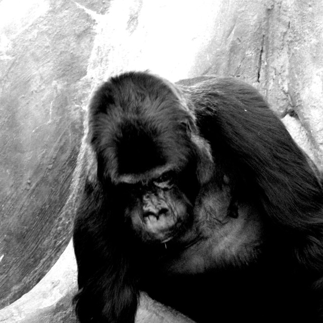 """Tired Gorilla"" stock image"