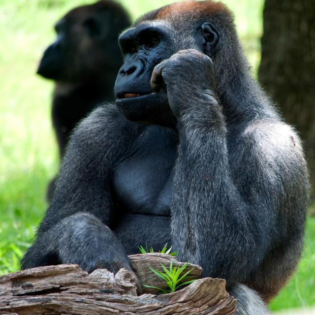 """Contemplative Gorilla"" stock image"