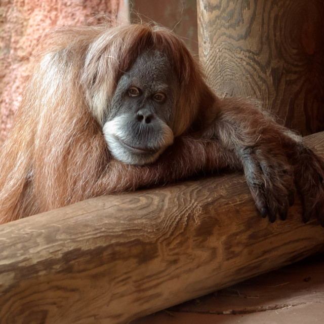"""Relaxing Orangutan"" stock image"