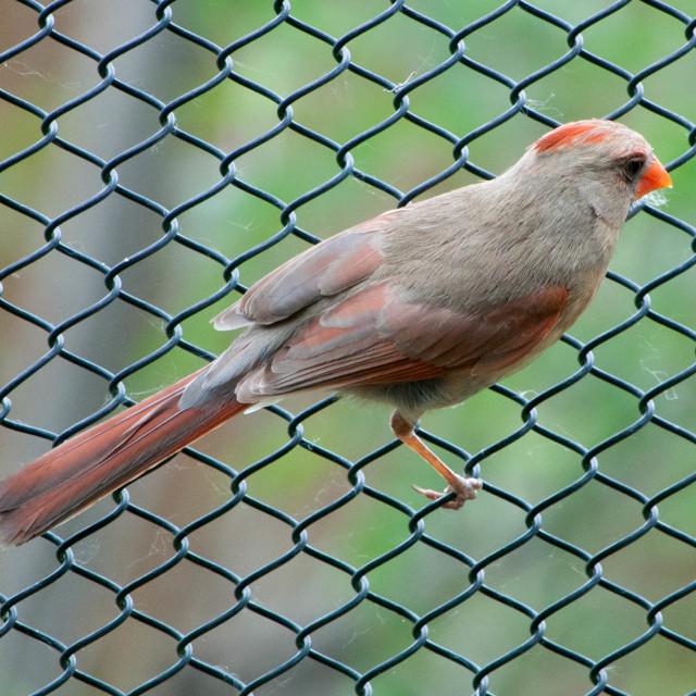 """Cardinal on Fence"" stock image"