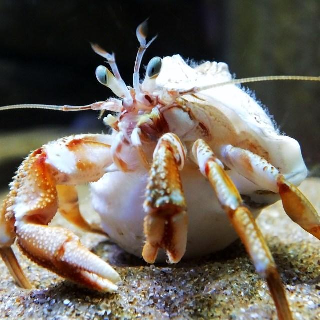 """""""Hermit Crab"""" stock image"""