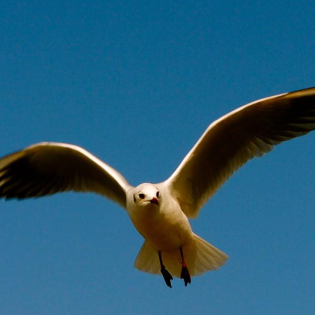 """""""Gull Flying"""" stock image"""