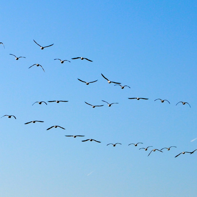 """Flock of geese"" stock image"