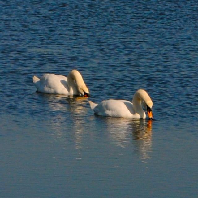 """""""Synchronised swanning"""" stock image"""