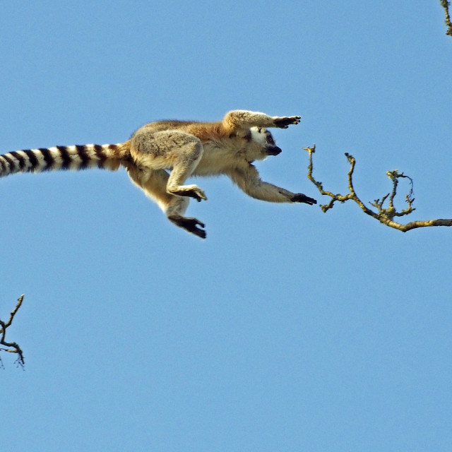 """Leaping Lemur"" stock image"