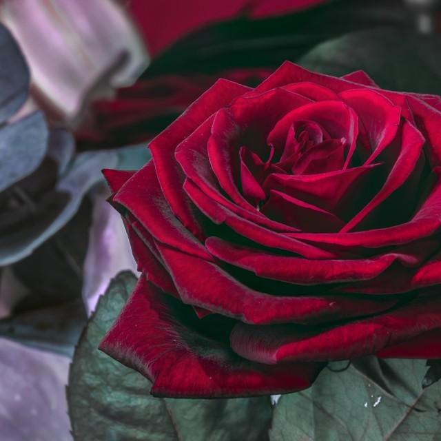 """Red Rose Macro"" stock image"