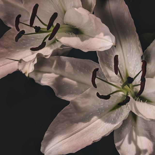 """White Lilly Macro"" stock image"