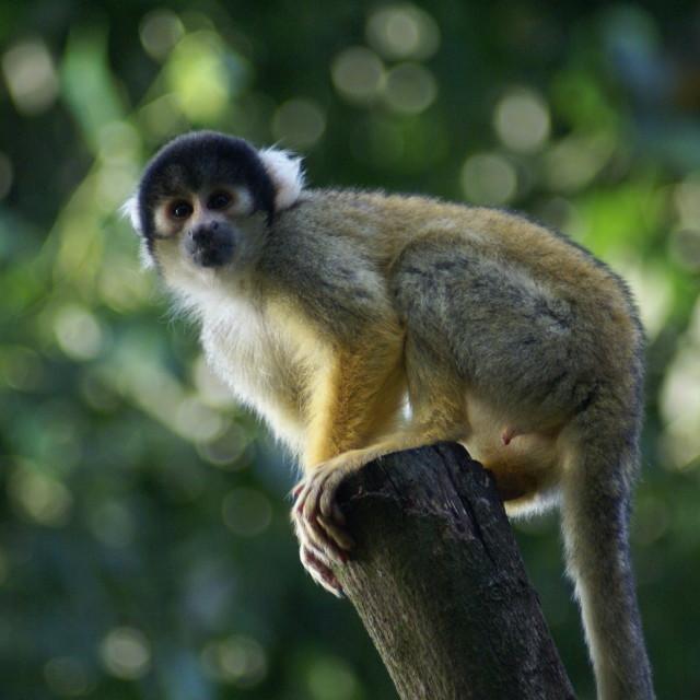 """""""London zoo monkey"""" stock image"""