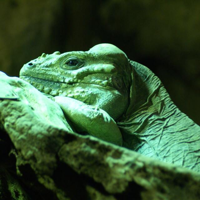 """""""London Zoo Iguana"""" stock image"""