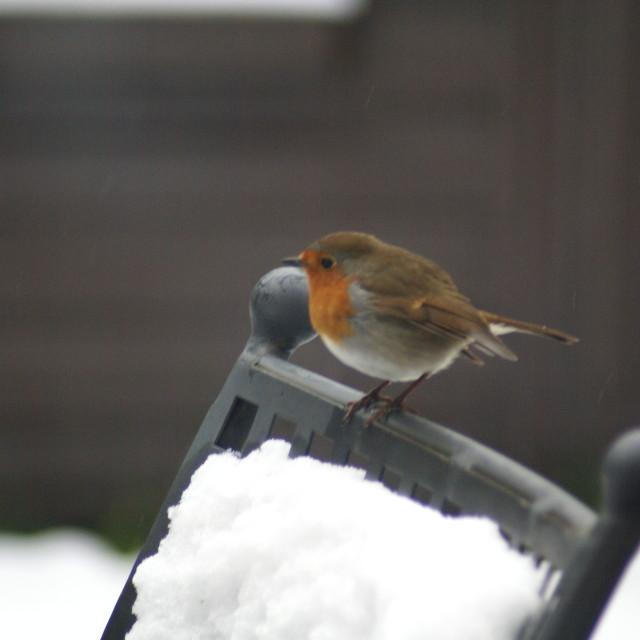 """""""Robin in Snow"""" stock image"""