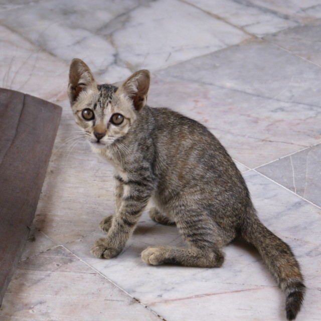 """Cat in Thailand Palace"" stock image"