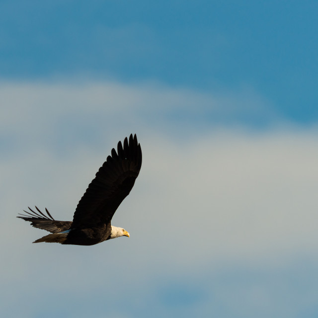 """Bald Eagle Flying away"" stock image"