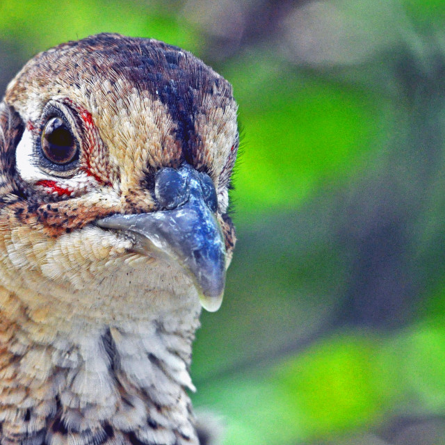 """Pheasant hen"" stock image"