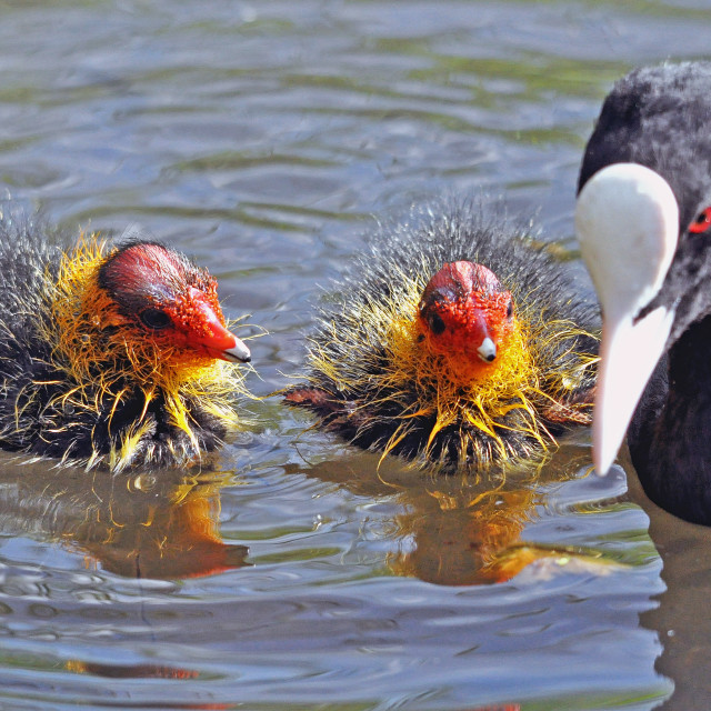"""""""Coot family"""" stock image"""