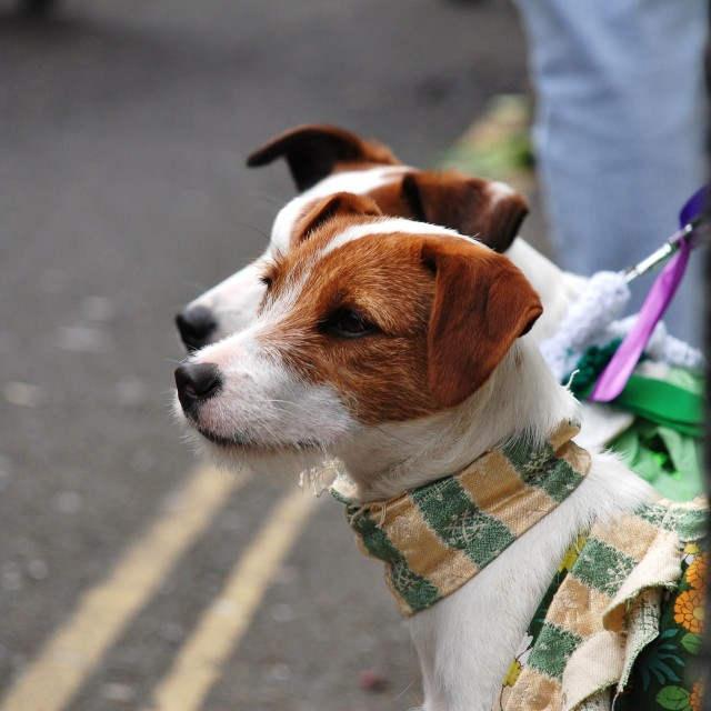 """""""Jack Russell dogs"""" stock image"""